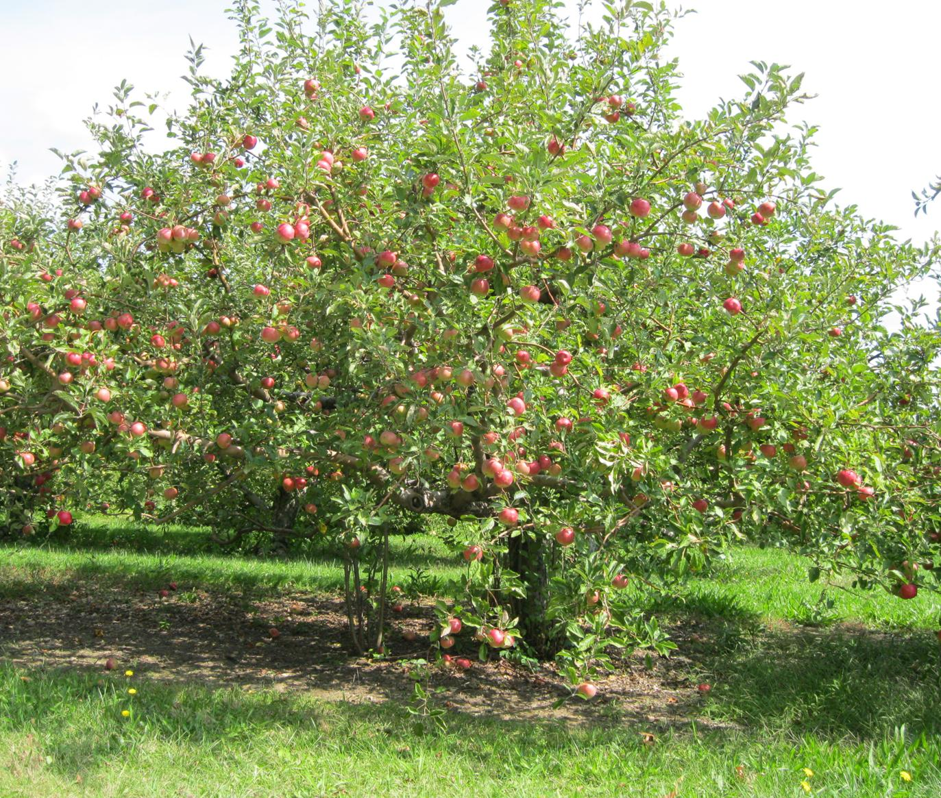 Road Trip: Apple Picking at Horseshoe Orchards